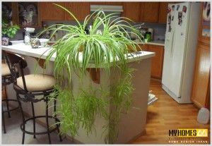 plantes for hoes in kerala use spider plants in your keral home to get good air with out polutions