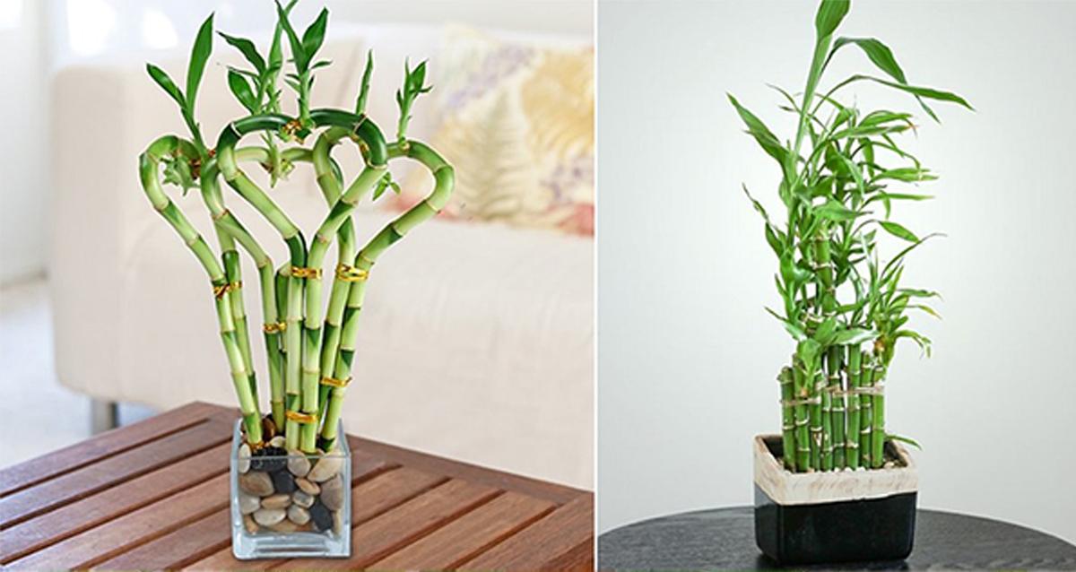 kerala indoor plant